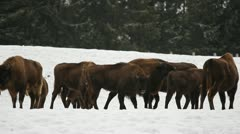 Many bisons in the wild Stock Footage
