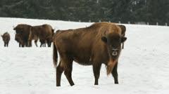 European bison (auroch) in winter - stock footage