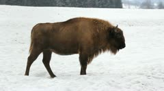 Bison on snow Stock Footage