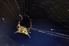 Spiny orb spider Stock Photos