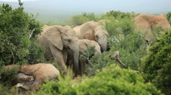 African Elephants mourning dead relative - stock footage