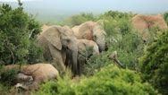 Stock Video Footage of African Elephants mourning dead relative