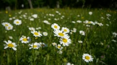 White daisies Stock Footage