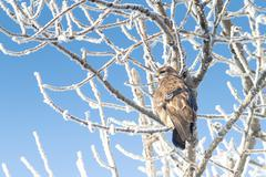 Common buzzard in natural habitat in winter / Buteo buteo Stock Photos