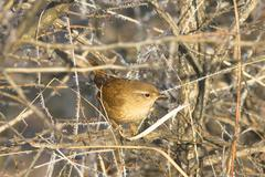 Adult male Winter Wren on Branch / Troglodytes troglodytes - stock photo