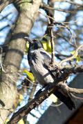 hooded crow -Corvus corone cornix - stock photo