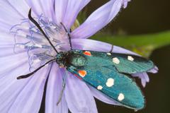 variable burnet moth on a chicory flower / Zygaena ephialtes - stock photo