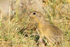 Souslik or European Ground Squirrel (Spermophilus citellus) Stock Photos