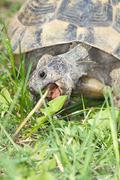 Spur-thighed turtle eating green grass close-up / Testudo graeca ibera Stock Photos