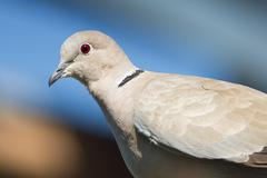 Eurasian Collared Dove portrait / Streptopelia decaocto - stock photo