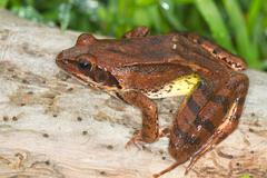 Agile Frog on a log close-up - Rana dalmatina - stock photo