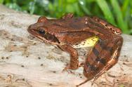 Stock Photo of Agile Frog on a log close-up - Rana dalmatina