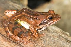 Agile Frog on a log close-up - Rana dalmatina - stock photo
