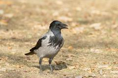 hooded crow -Corvus corone cornix - stock photo