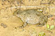 Stock Photo of Yellow-Bellied Toad close-up / Bombina variegata