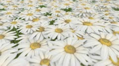 Daisy Field Looping Background Stock Footage