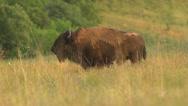 Buffalo Grazing-Wide-Slow Motion Stock Footage