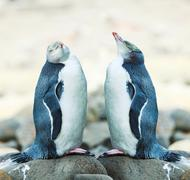 Yellow-eyed penguins Stock Photos