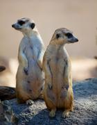 Two meerka Stock Photos
