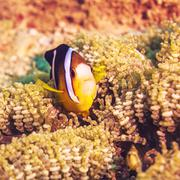 tropical fish yellowtail clownfish - stock photo