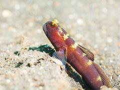 tropical fish goby - stock photo