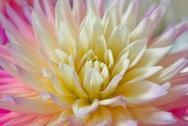 Stock Photo of dahlia flower