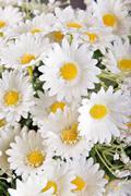 white silk daisies - stock photo