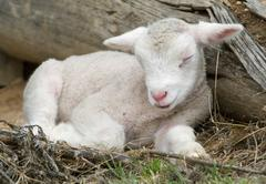 young lamb on the farm - stock photo