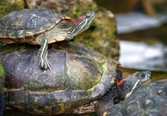 tortoises on waters edge - stock photo