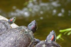Tortoises on waters edge Stock Photos