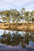 river gum trees reflecting in river - stock photo