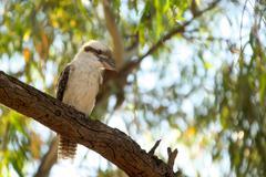 kookaburra in tree - stock photo