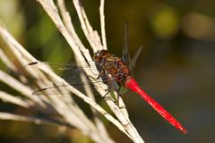 red dragonfly - stock photo