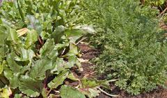 vegies growing - stock photo