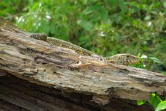 Stock Photo of lizard sitting on a piece of wood