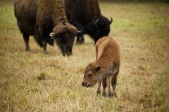 Baby Bison near Adults Stock Photos