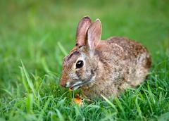 Cottontail bunny rabbit eating carrot - stock photo