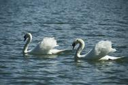 Pair of Swans on a Lake Stock Photos