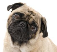 Pug with Tilted Head - stock photo