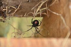 Black Widow Spider with red hour glass showing - stock photo