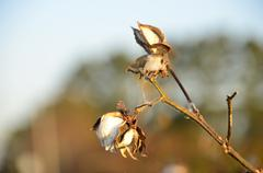 Cotton Bolls on the Plant - stock photo