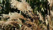 Reed in Autumn Stock Footage
