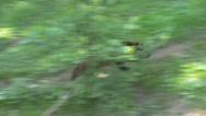 Wolverine, gulo gulo, Stock Footage