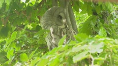 great grey owl, strix nebulosa. - stock footage