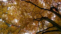 Fall Maples In Takayama Stock Footage