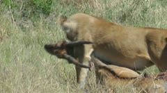 Lioness carry prey in her teeth - stock footage