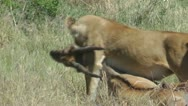 Stock Video Footage of Lioness carry prey in her teeth
