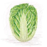 napa cabbage - stock illustration
