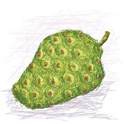 Noni fruit Stock Illustration