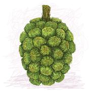 Pandanus fruit Stock Illustration